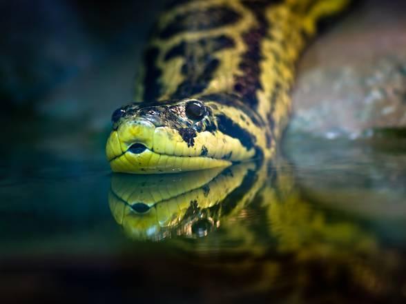 Anaconda (Eunectes)