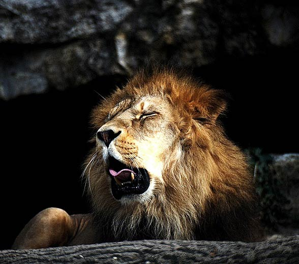 Barbary lion / Atlas lion (Panthera leo leo)