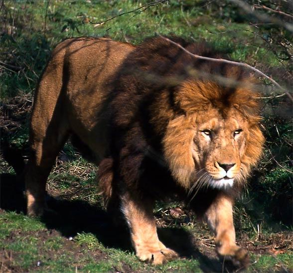 extinct lion subspecies