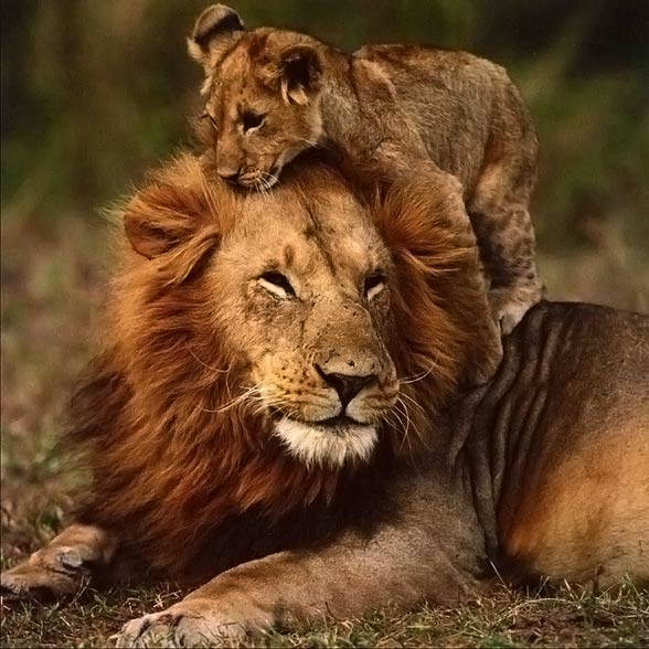 Barbary lion / Atlas lion (Panthera leo leo)