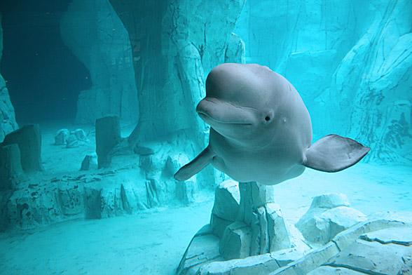 Beluga whale, white whale (Delphinapterus leucas)