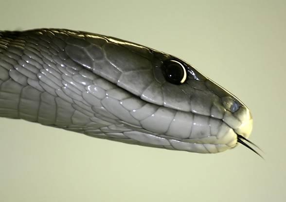 Black mamba (Dendroaspis polylepis).
