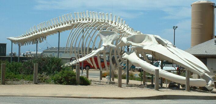 Blue Whale  The Largest Animal  Dinoanimalscom-8329