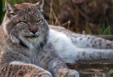 Photo of Canada lynx – majestic predator