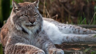Photo of Canada lynx – majestic predator