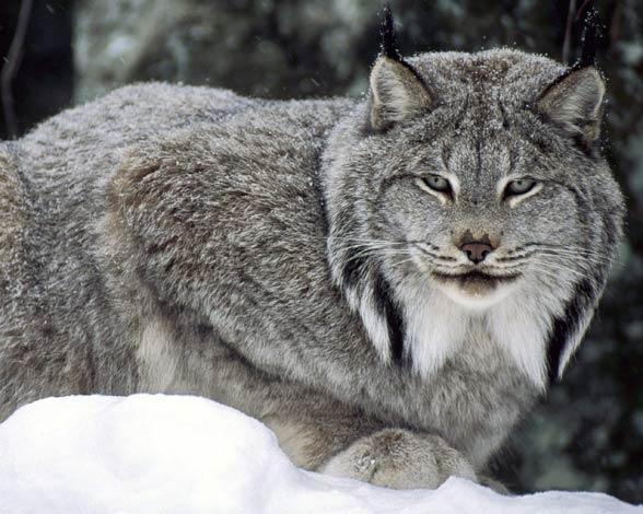 Canada lynx / Canadian lynx (Lynx canadensis)