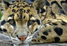 Photo of Clouded leopard – predator from trees