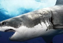 Photo of Great white shark – white death