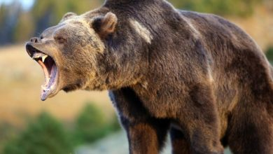 Photo of Grizzly bear (Ursus arctos horribilis)