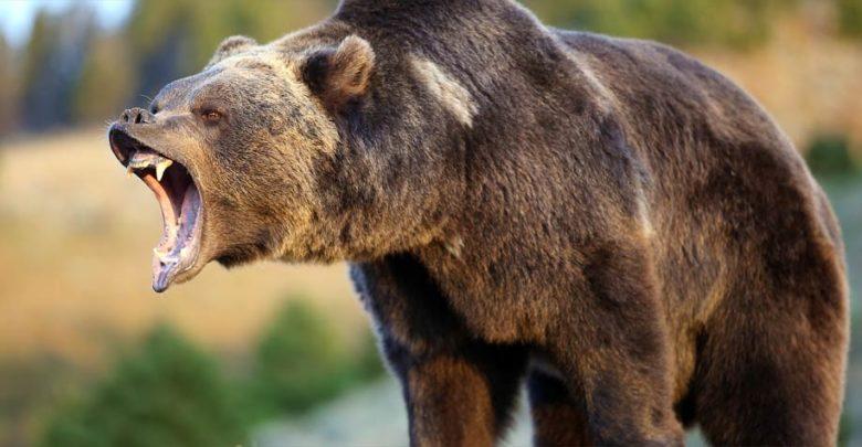 Photo of Grizzly bear (Ursus arctos horribilis)