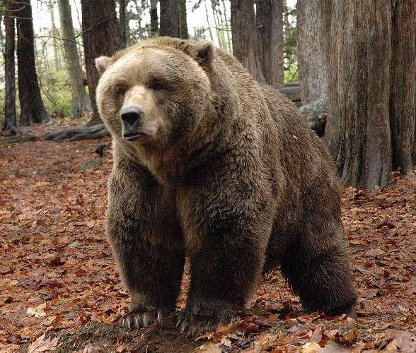 grizzly bear ursus arctos horribilis dinoanimals com