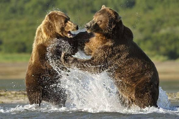 Grizzly (Ursus arctos horribilis)