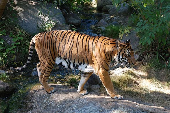 Indochinese tiger (Panthera tigris corbetti)