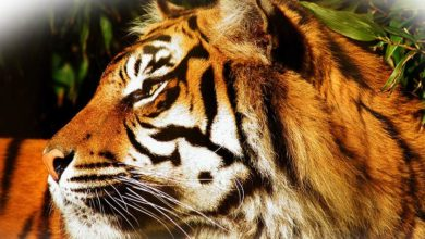 Photo of Indochinese tiger (Panthera tigris corbetti)