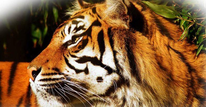 Photo of Indochinese tiger (Panthera tigris corbetti)