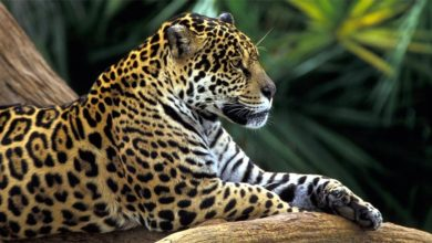 Photo of Jaguar – a strong wild cat