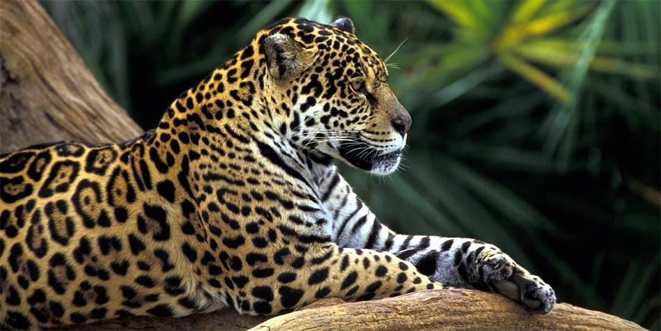 Photo of Jaguar – a strong wild cat