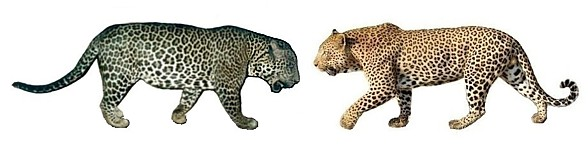 Jaguar vs Leopard