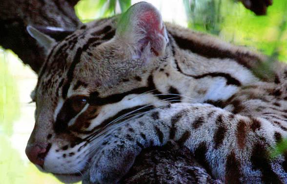 Ocelot (Leopardus pardalis)
