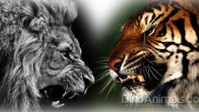 Photo of Lion versus tiger – fight
