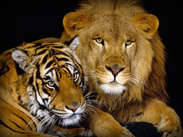 tiger and lion images  Lion versus tiger – fight | DinoAnimals.com