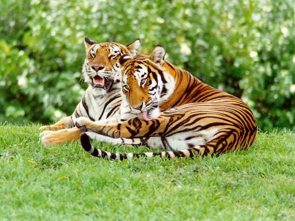 Malayan tigers (Panthera tigris jacksoni)