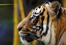 Photo of Malayan tiger (Panthera tigris jacksoni)