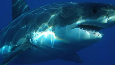 Photo of Megalodon – a prehistoric shark