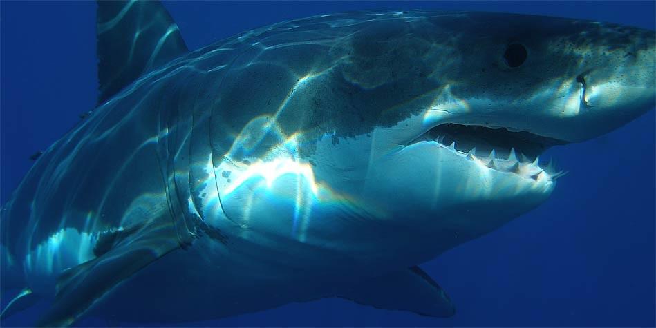 Megalodon – a prehistoric shark | DinoAnimals com