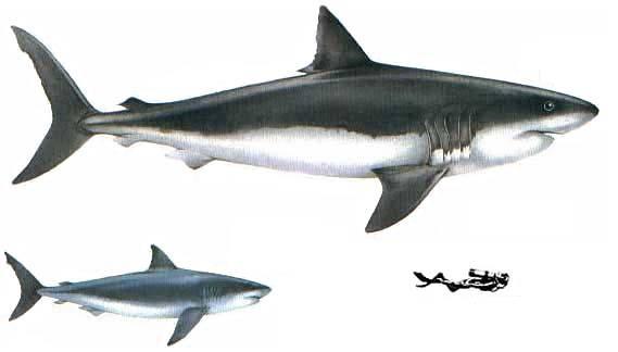 Great white shark – white death | DinoAnimals.com