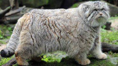 Photo of Pallas's cat, manul (Otocolobus manul)