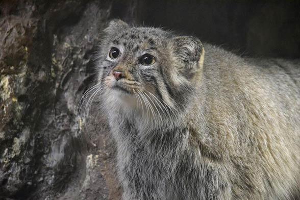 Pallas's cat, manul (Otocolobus manul)
