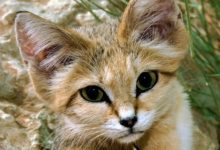 Photo of Sand cat – smallest wild cat