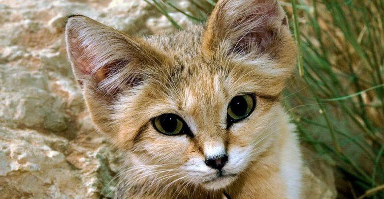 Photo of Sand cat – smallest wild cat