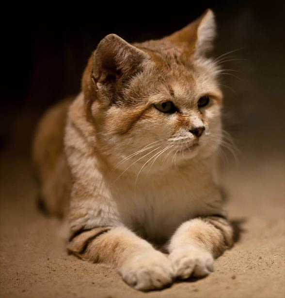 Sand cat (Felis margarita)