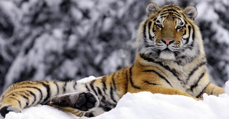 Photo of Siberian tiger – the largest tiger