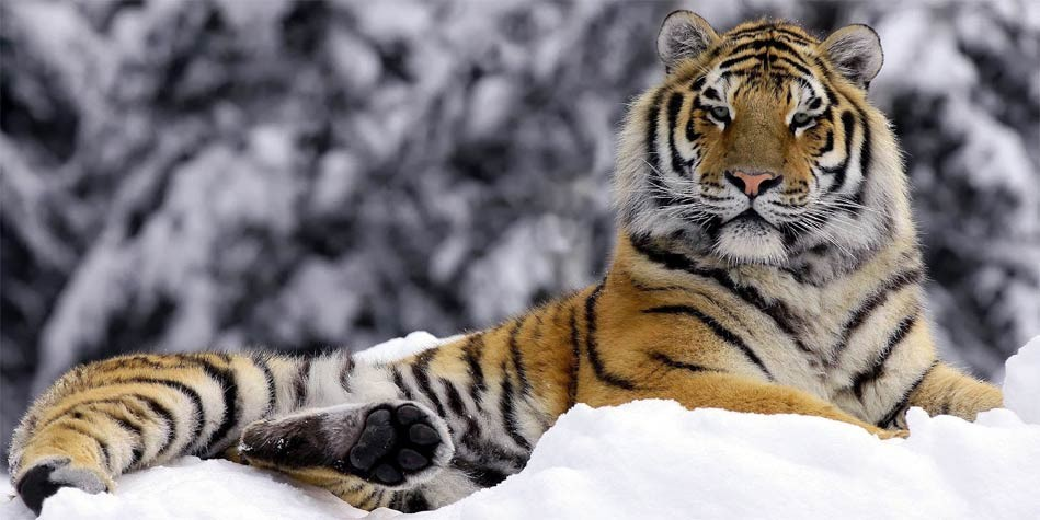 the siberian tiger Work at the telegraph telegraph corporate search video how the siberian tiger was brought back from the brink of extinction the amur tiger is that rarity.
