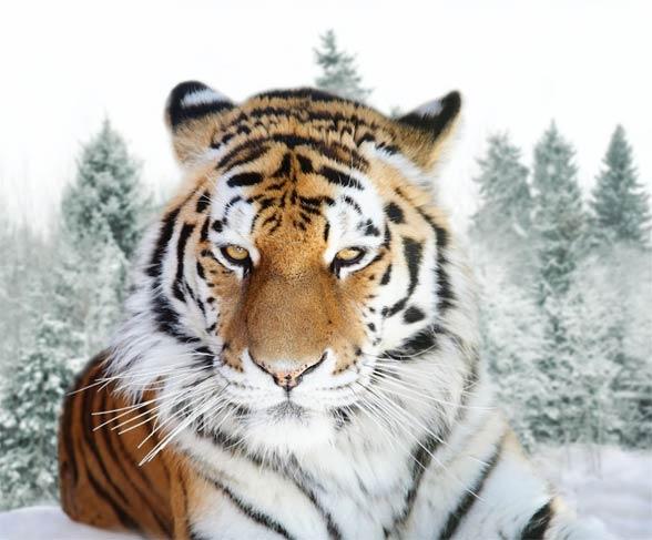 Siberian tiger / Amur tiger (Panthera tigris altaica)