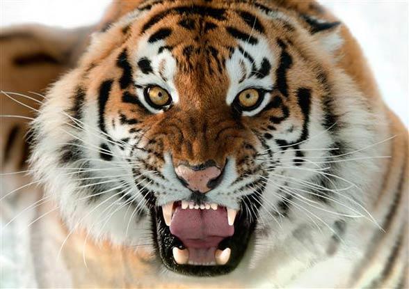 Siberian tiger – the largest tiger | DinoAnimals.com A Dangerous Method
