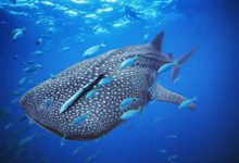 Photo of Whale shark – the world's largest fish