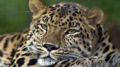 Photo of Amur leopard – Far Eastern leopard