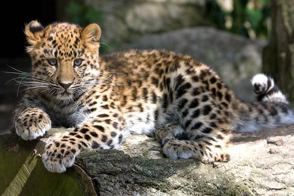 Amur leopard (Panthera pardus orientalis).
