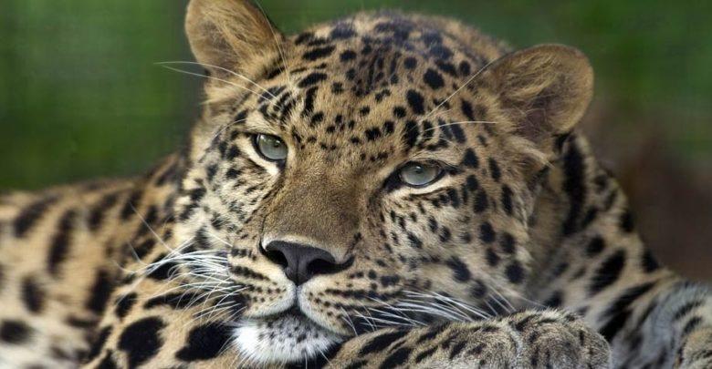 Photo of Amur leopard – Far Eastern leopard
