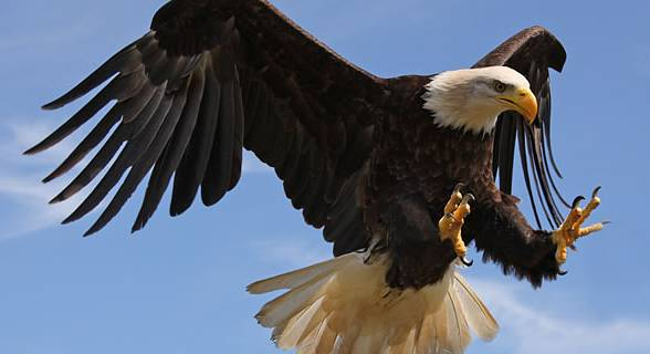 Bald eagle's claws are about 10 times stronger than a human hand.