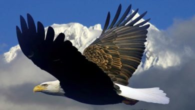 Photo of Bald eagle – the national bird of the USA