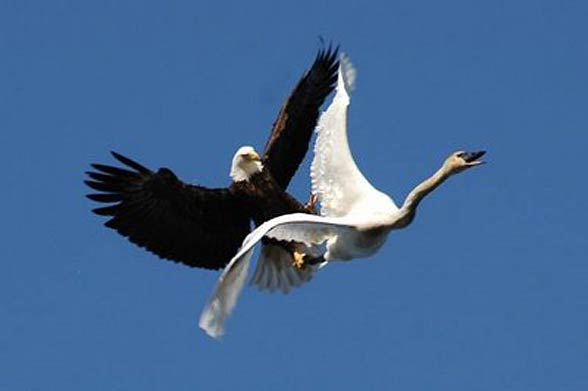 Bald eagle's attack on a swan. Photo: Kelly Munday