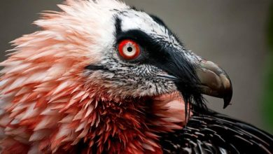Photo of Bearded vulture (Gypaetus barbatus)