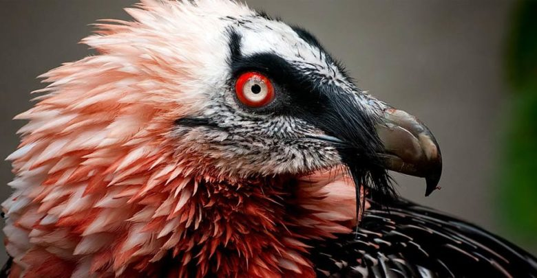 Photo of Bearded vulture (Gypaetus barbatus)