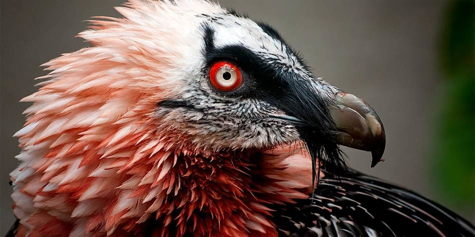 Bearded_vulture-1-949x475.jpg