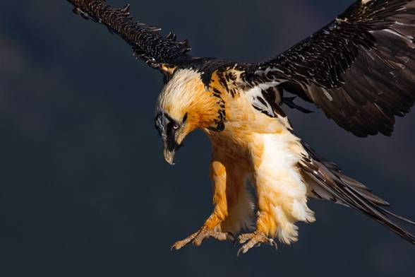 Bearded vulture (Gypaetus barbatus).